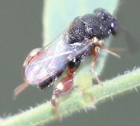 Chalcidiidae - Brachymeria podagrica