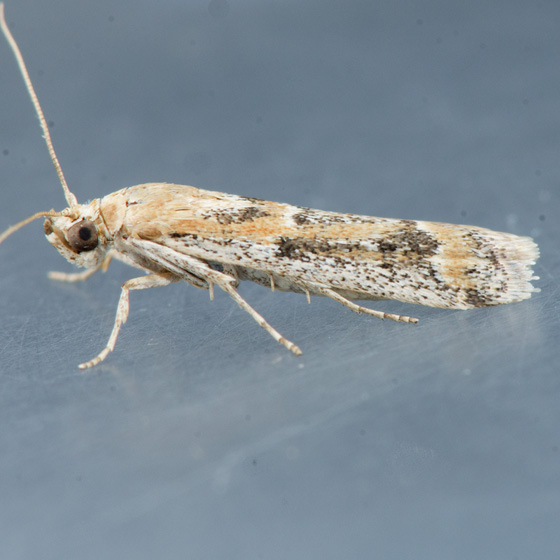 Moth for ID  - Ancylosis morrisonella