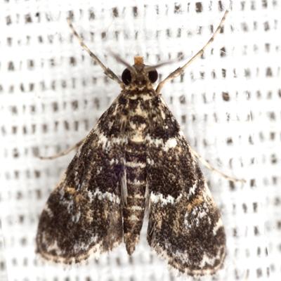Waterlily Leafcutter Moth - Hodges #4755 - Elophila obliteralis - male