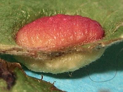 Leaf gall - Pontania