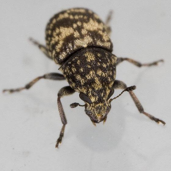 Weevil 1289 - Eusphyrus walshi