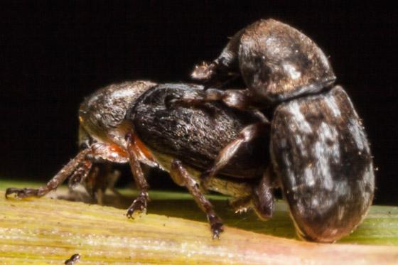 Trigonorhinus rotundatus - male - female