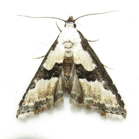 Hodges #5591 - Tallula atrifascialis - Hodges #8440 - Nigetia formosalis