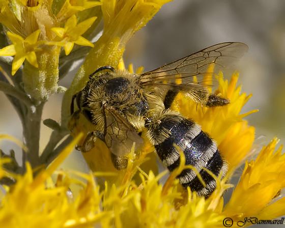 Halictus? - Andrena - female