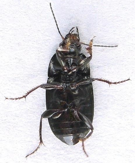 Seed-Eating Ground Beetle? - Amara laevipennis