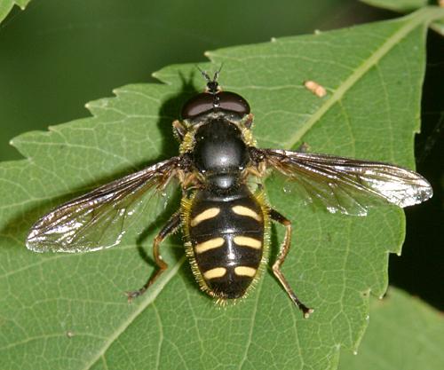 Syrphid - Sericomyia chrysotoxoides