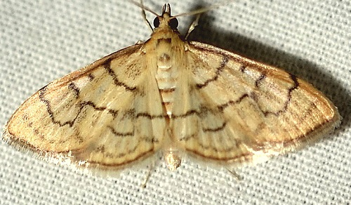 Anania labeculalis