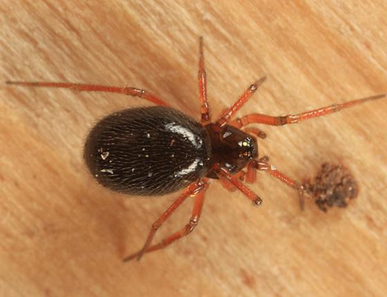 Dwarf Spider - Souessa spinifera - female