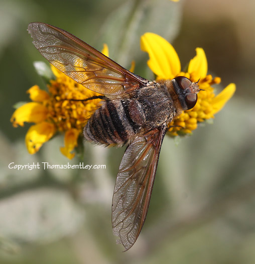 Syrphid Fly - Exoprosopa pueblensis