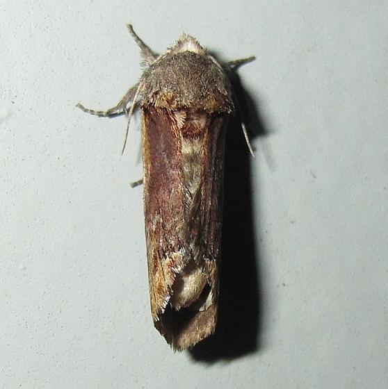 Hodges #8010 - Red-humped Caterpillar Moth - Schizura concinna
