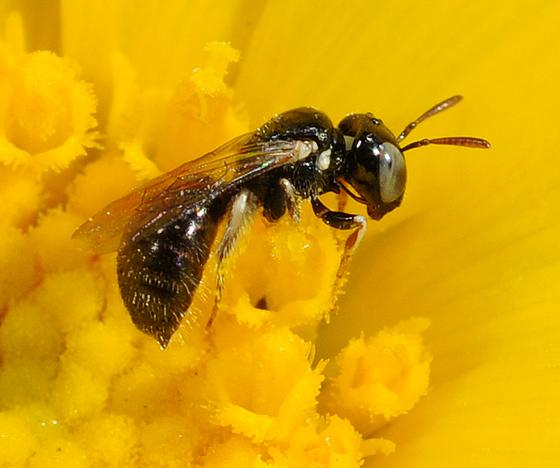 Panurginae ? - Ceratina arizonensis - female