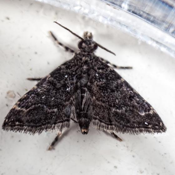 Nymphuliella daeckealis? - Sufetula carbonalis