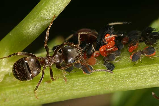 Aphids mites and ants - Lasius