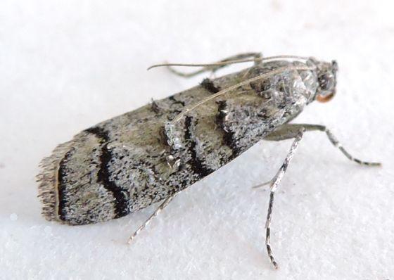 Arizona Moth - Dioryctria subtracta