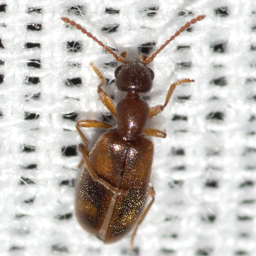 Ant-like Flower Beetle - Anthicus cervinus