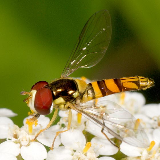 Syrphid Fly - Allograpta obliqua - male