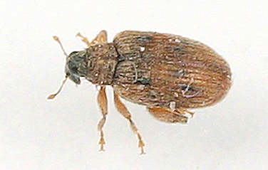 Weevil - ? - Orchestes steppensis