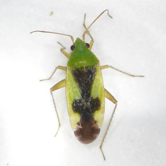 Reuteroscopus ornatus