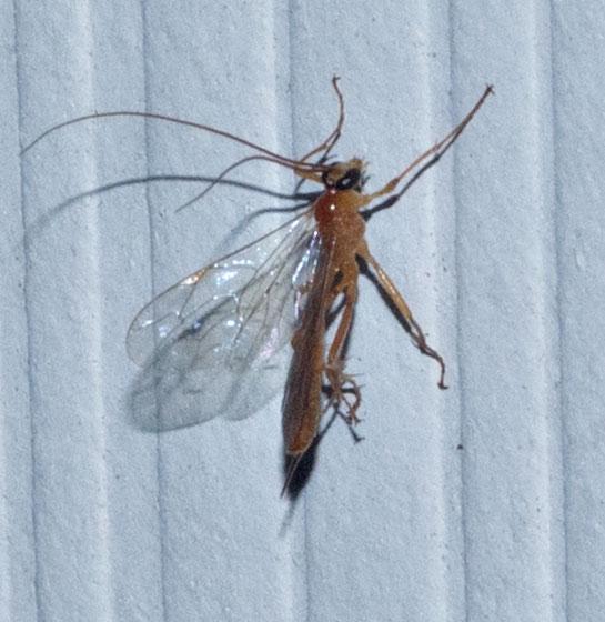 orange wasp - Netelia