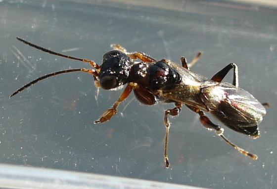 wasp - Deinodryinus atriventris - female