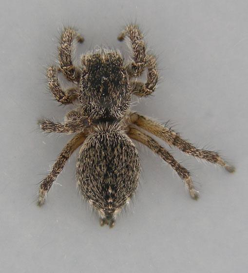 Jumping Spider Gray 4 - Habronattus hirsutus - female