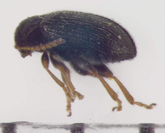 Chrysomelidae, lateral - Epitrix cucumeris