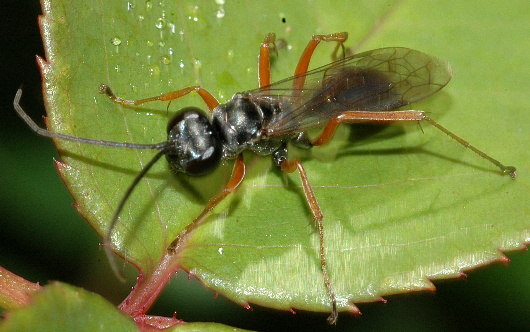 Small, red-legged wasp - Auplopus mellipes