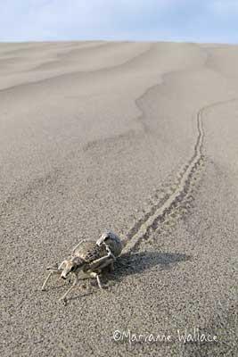 Death Valley Dunes bug - Ophryastes mixtus