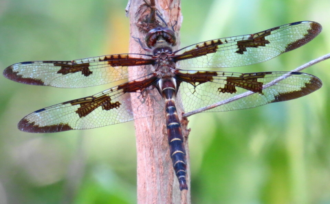 Brown dragonfly - Epitheca princeps - male