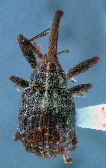 long snout curculionid - Anthonomus quadrigibbus