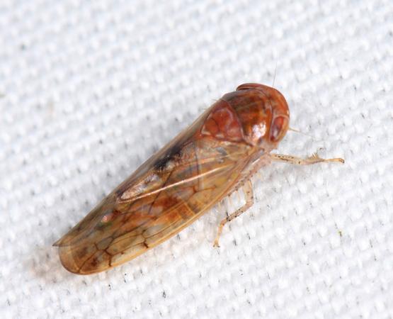 leafhopper - Eutettix marmoratus - male