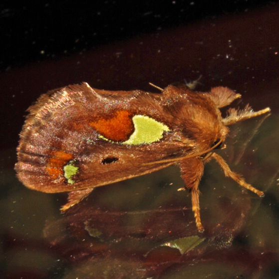 Spiny Oak-Slug Moth - Hodges#4697 - Euclea delphinii
