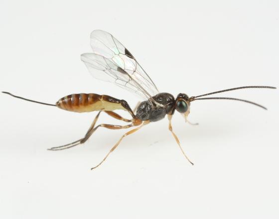 Pristomerus baumhoferi - female