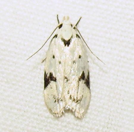 Hodges #1034 - Black-marked Inga Moth - Inga sparsiciliella