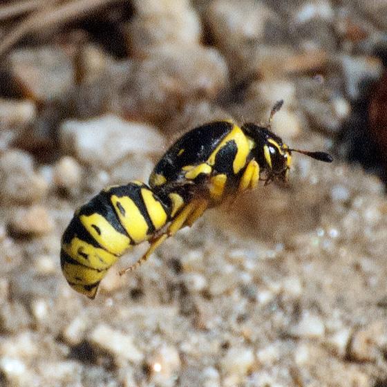 Which Pseudomasaris? - Pseudomasaris vespoides