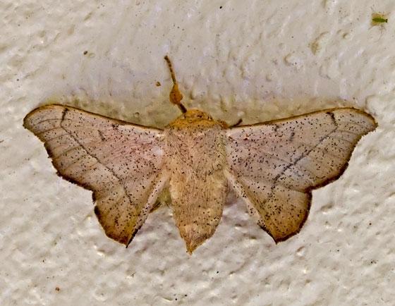 MothHeavyBodied_04102015_TP - Cicinnus melsheimeri