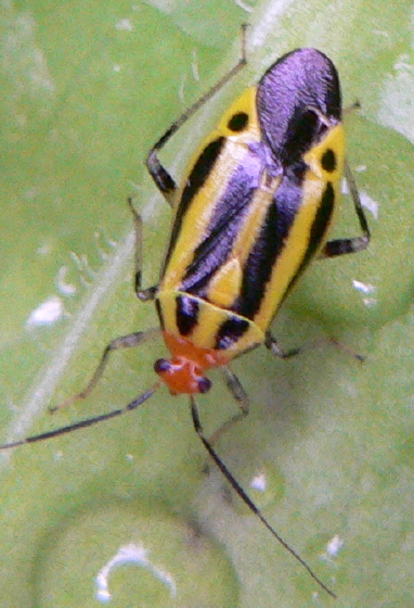 Four-lined Plant Bug - Poecilocapsus lineatus