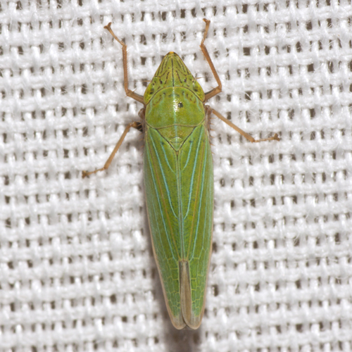 Sharpshooter Leafhopper - Draeculacephala