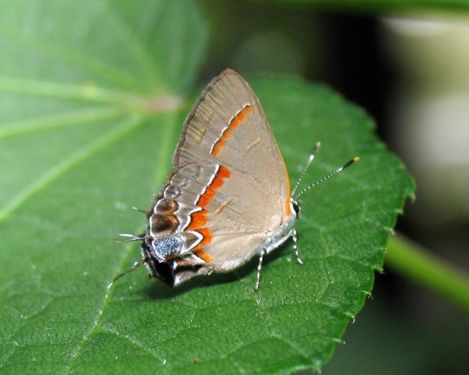 Red-banded Hairstreak Butterfly (Calycopis cecrops) - Calycopis cecrops