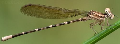 Female Blue-ringed Dancer, Argia sedula? - Argia sedula - male