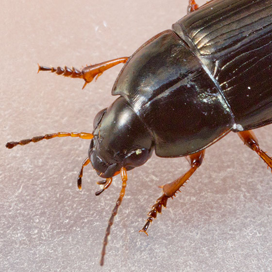 Black Beetle - Amara familiaris
