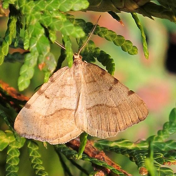 Speranza coloradensis - Macaria coloradensis - male