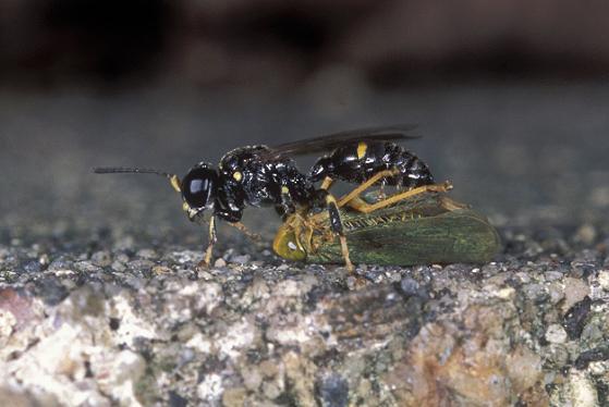 Wasp and prey - Clitemnestra bipunctata - female