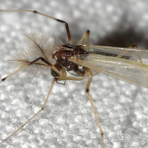 midge - Microtendipes