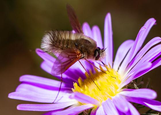 Fly - Anastoechus