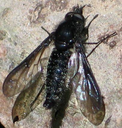 bristly black fly - Aldrichia ehrmanii