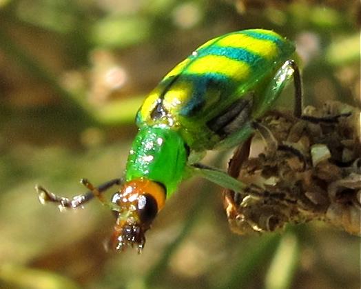 Banded Cucumber Beetle? - Diabrotica balteata