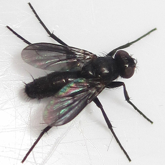Melanophora roralis - male