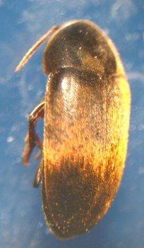 Tetratomid - Eustrophus tomentosus