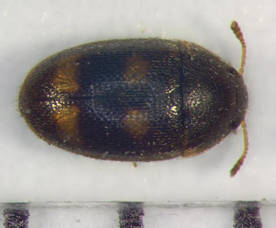 Mycetophagidae, dorsal - Litargus tetraspilotus